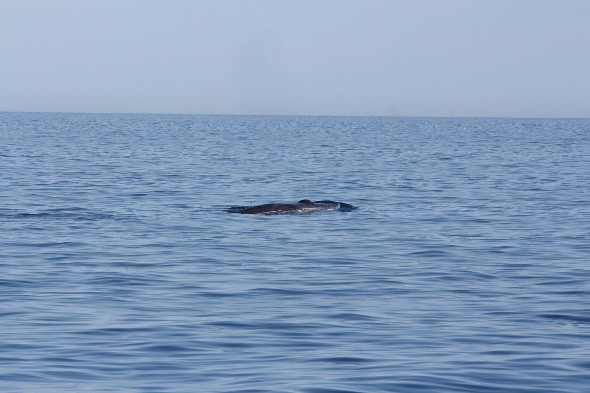 catamaran navivoile croisiere chante avec les dauphins au depart de canet en roussillon observation baleine rorqual commun au large d'argeles sur mer dans les pyrenees orientales