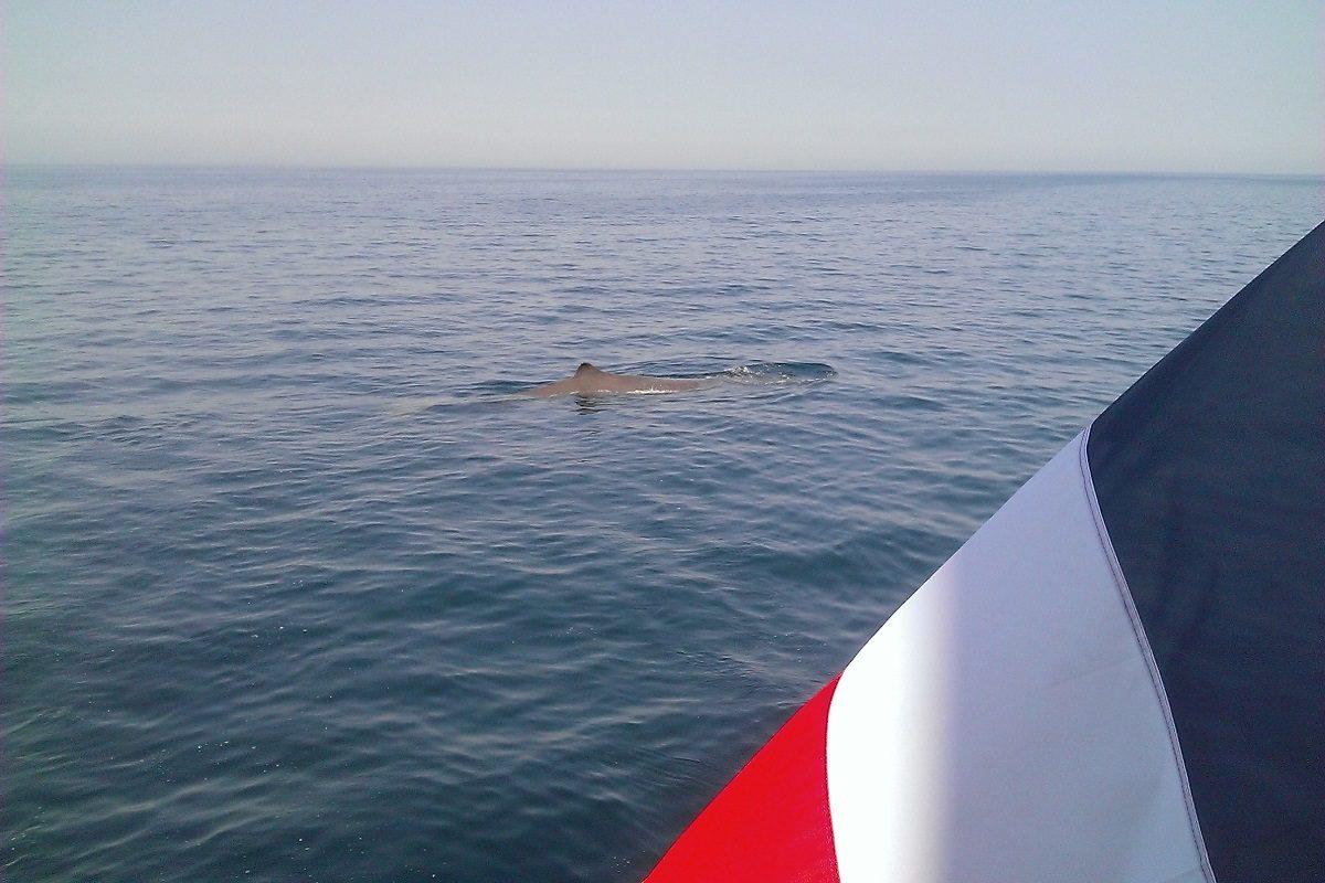 catamaran navivoile croisiere chante avec les dauphins au depart de canet en roussillon observation cachalot au repos en surface au large de port saint cyprien
