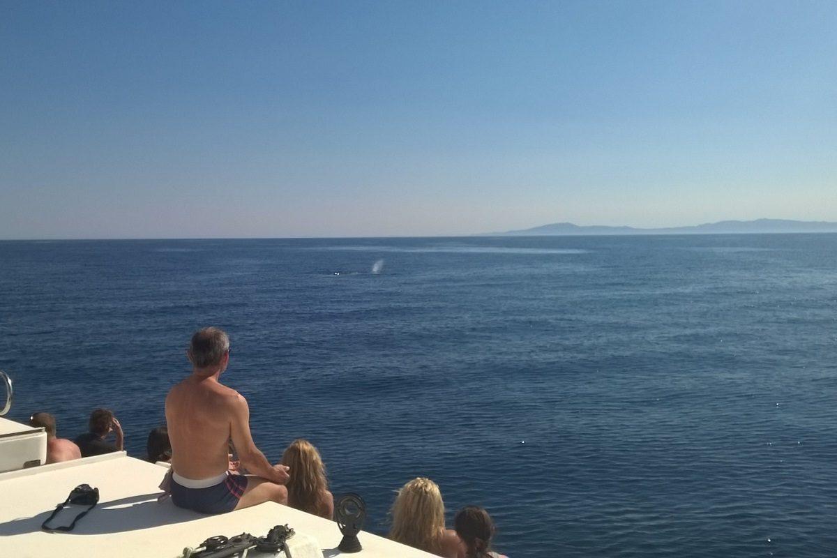 catamaran navivoile croisiere chante avec les dauphins au depart de canet en roussillon observation cachalot en respiration a la surface au large d'argeles sur mer