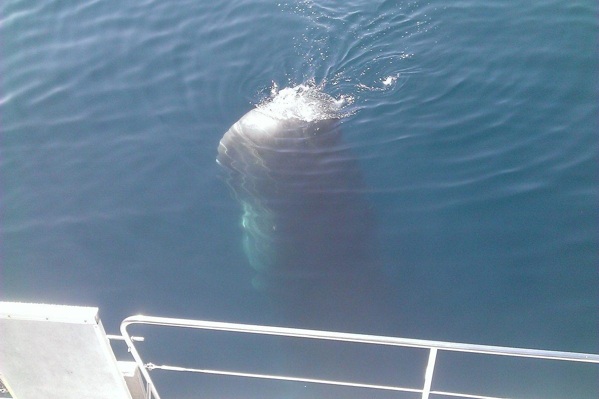 catamaran navivoile croisiere chante avec les dauphins au depart de canet en roussillon observation cachalot en spyhopping et sous voile d'avant