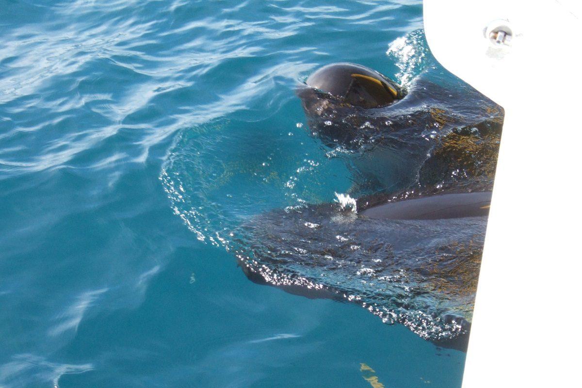 catamaran navivoile croisiere chante avec les dauphins au depart de canet en roussillon observation globicephales noirs aux etraves