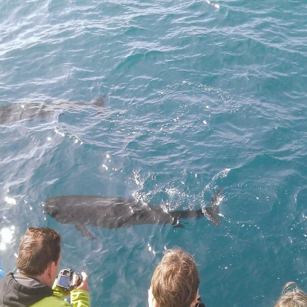 catamaran navivoile croisiere chante avec les dauphins au depart de canet en roussillon observation groupe de globicephales noirs au repos avec navire en derive large du roussillon