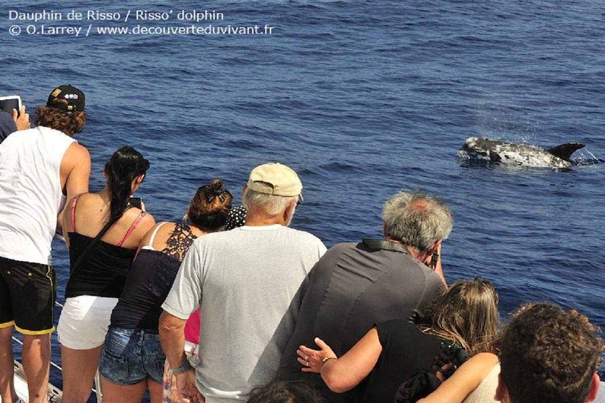 catamaran navivoile observation baleines et dauphins au depart de canet en roussillon avec dauphin de risso curieux