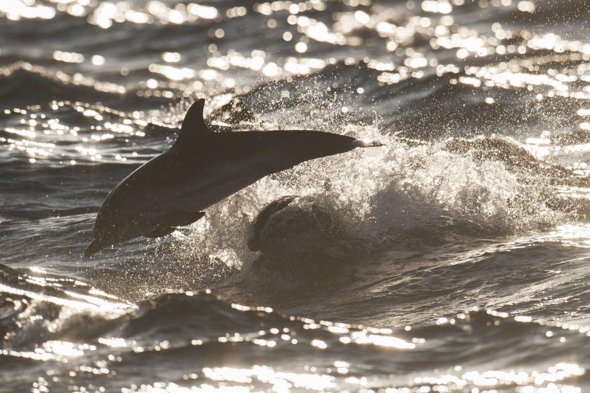 catamaran navivoile sortie a la rencontre du grand dauphin au depart de canet en roussillon ou port vendres dauphin fin d'apres midi