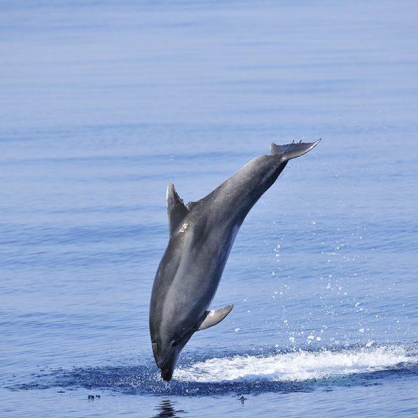catamaran navivoile sortie a la rencontre du grand dauphin au depart de canet en roussillon ou port vendres grand dauphin en fin de saut