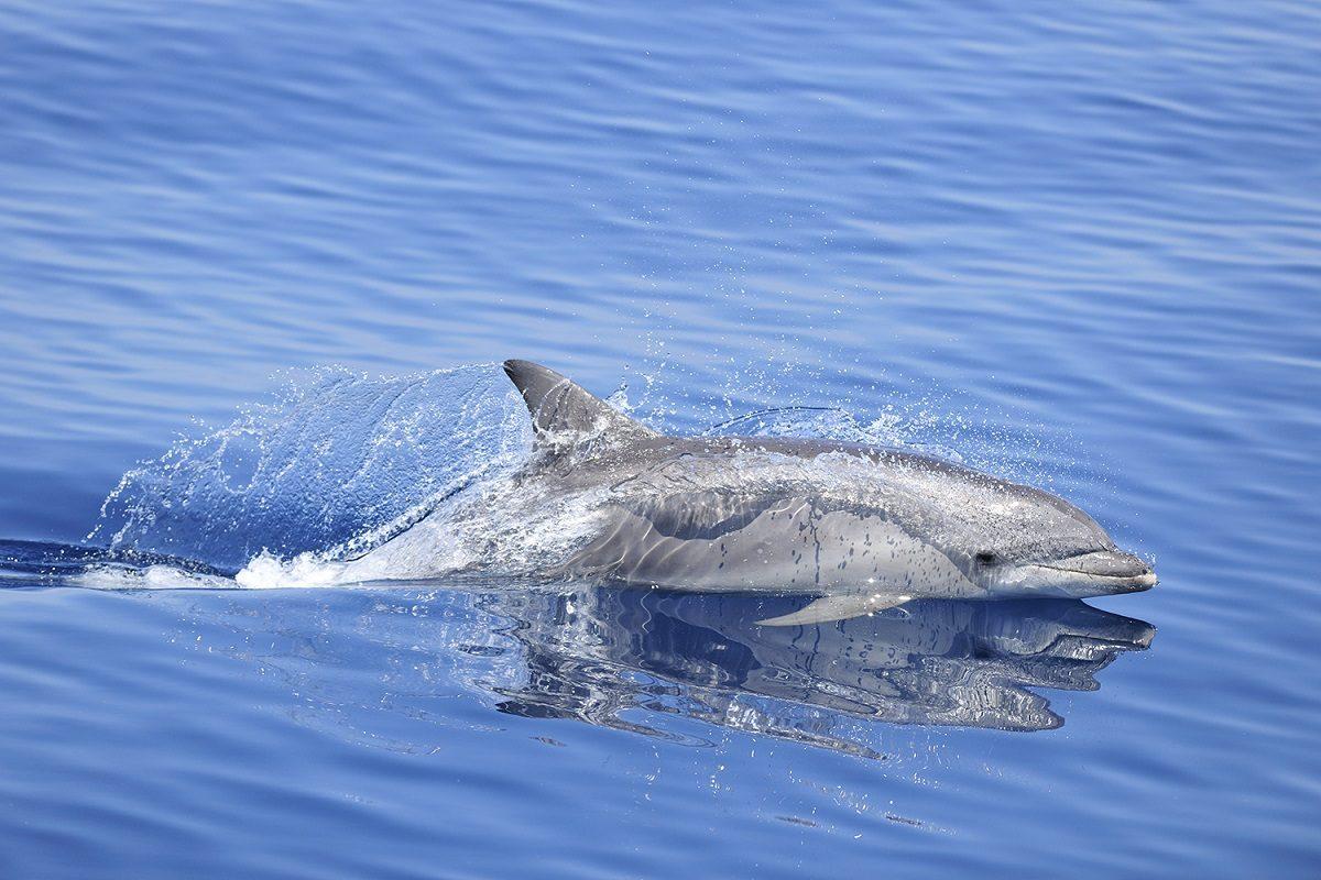 catamaran navivoile sortie a la rencontre du grand dauphin au depart de port vendres ou canet en roussillon dauphin en pleine vitesse