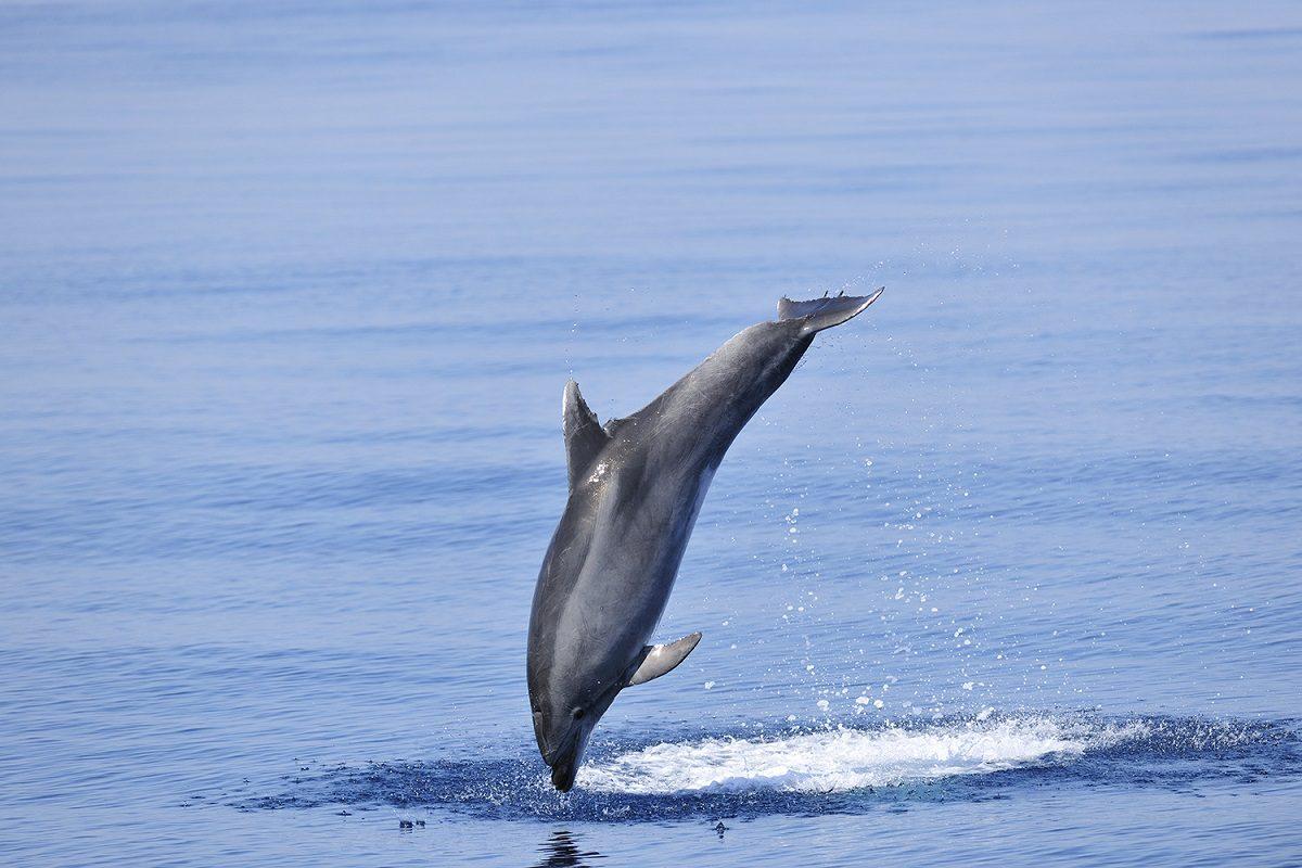 catamaran navivoile sortie a la rencontre du grand dauphin au depart de port vendres ou canet en roussillon grand dauphin en fin de saut