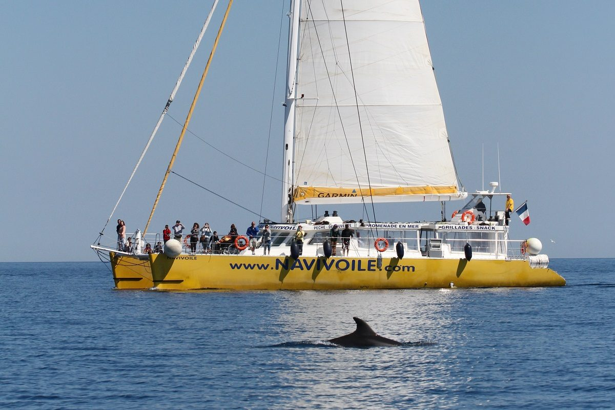 catamaran navivoile sortie a la rencontre du grand dauphin au depart de port vendres ou canet en roussillon navivoile et aileron de dauphin