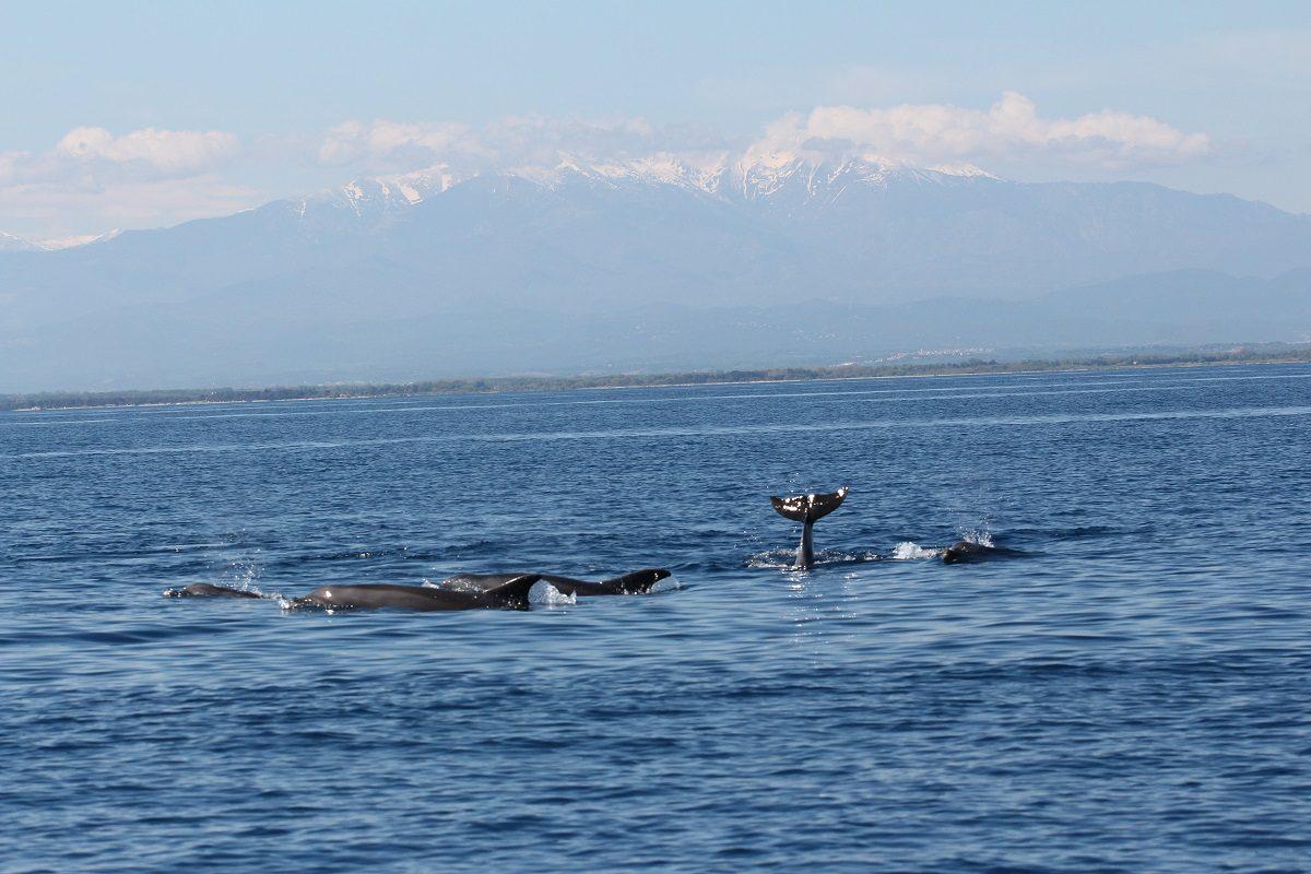 catamaran navivoile sortie a la rencontre du grand dauphin au depart de port vendres ou canet en roussillon observation dauphins sous le massif du canigou