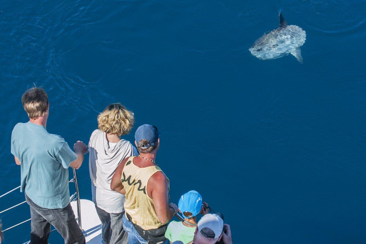 catamaran navivoile sortie a la rencontre du grand dauphin au depart de port vendres ou canet en roussillon observation poisson lune mola mola en surface