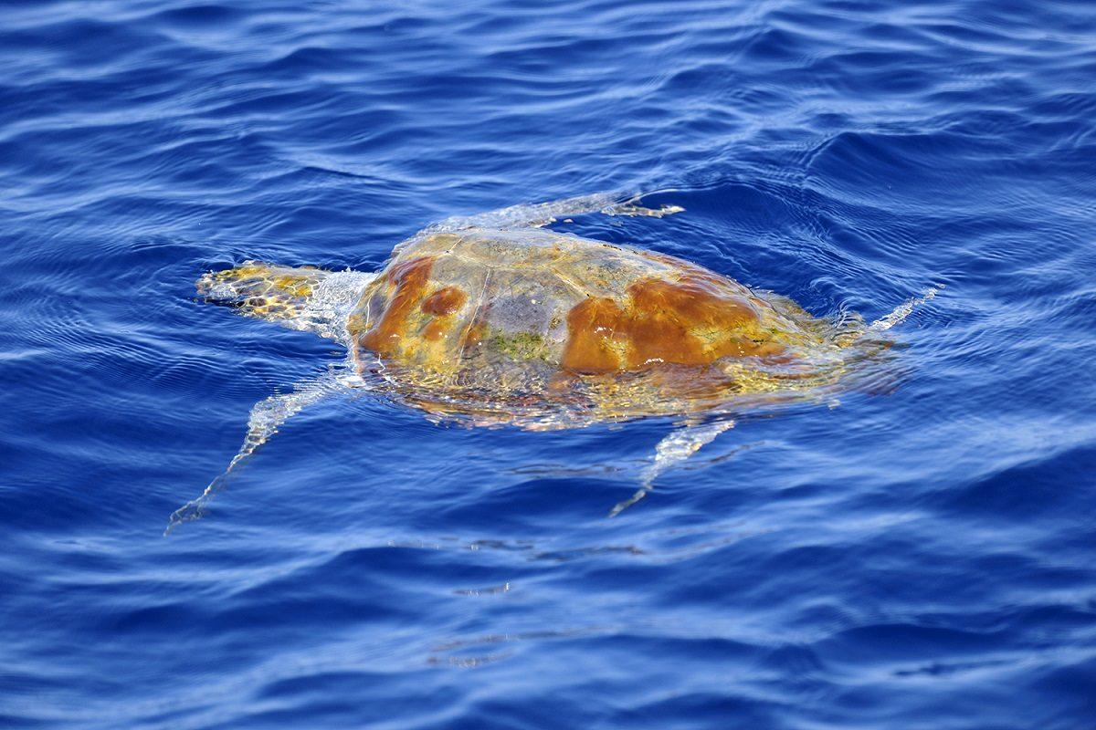 catamaran navivoile sortie a la rencontre du grand dauphin au depart de port vendres ou canet en roussillon observation tortue caouanne en repos surface