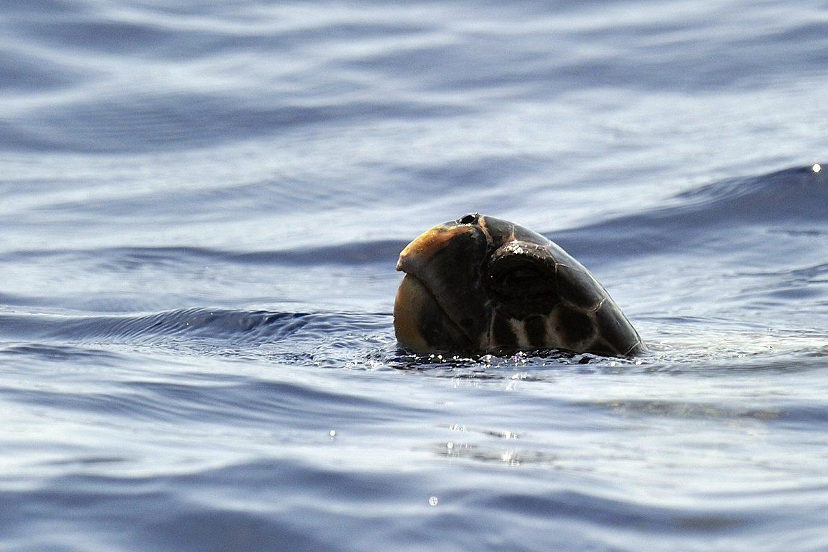 catamaran navivoile sortie a la rencontre du grand dauphin au depart de port vendres ou canet en roussillon observation tortue caouanne en respiration surface