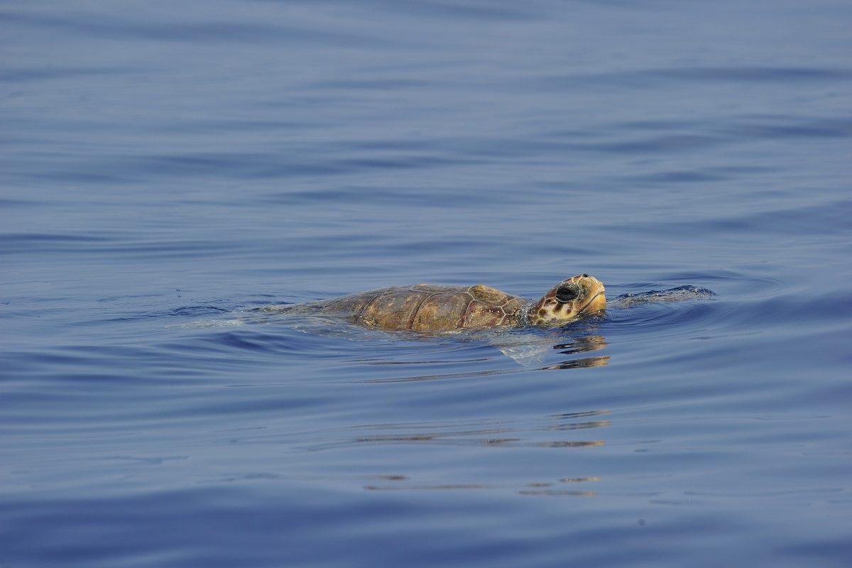 catamaran navivoile sortie a la rencontre du grand dauphin au depart de port vendres ou canet en roussillon observation tortue caouanne en surface