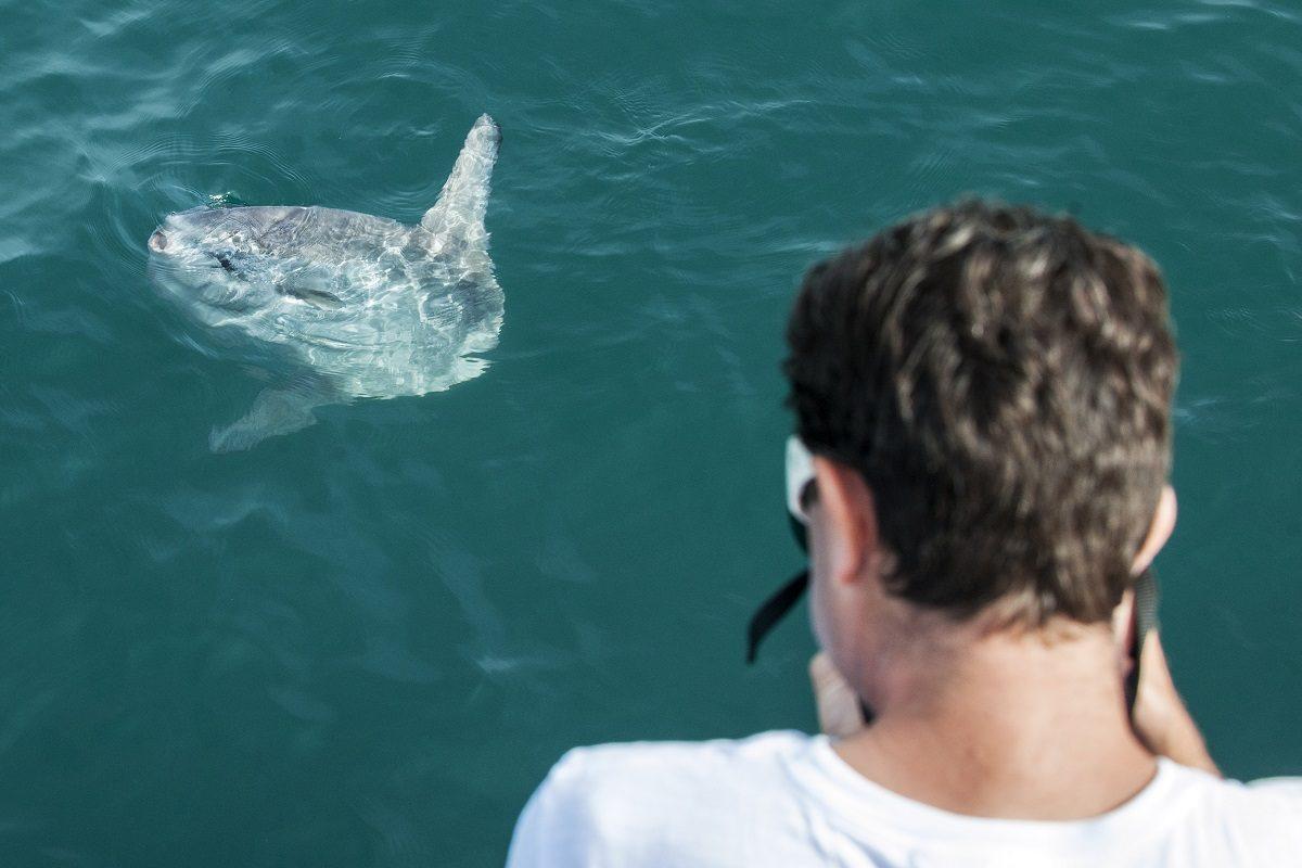 catamaran navivoile sortie a la rencontre du grand dauphin au depart de port vendres ou canet en roussillon observation tortue poisson lune mola mola
