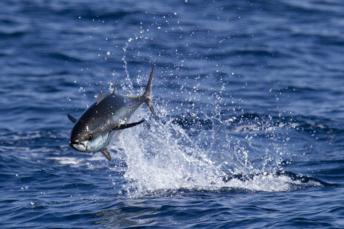 catamaran navivoile sortie a la rencontre du grand dauphin au depart de port vendres ou canet en roussillon petit thon rouge en chasse en surface