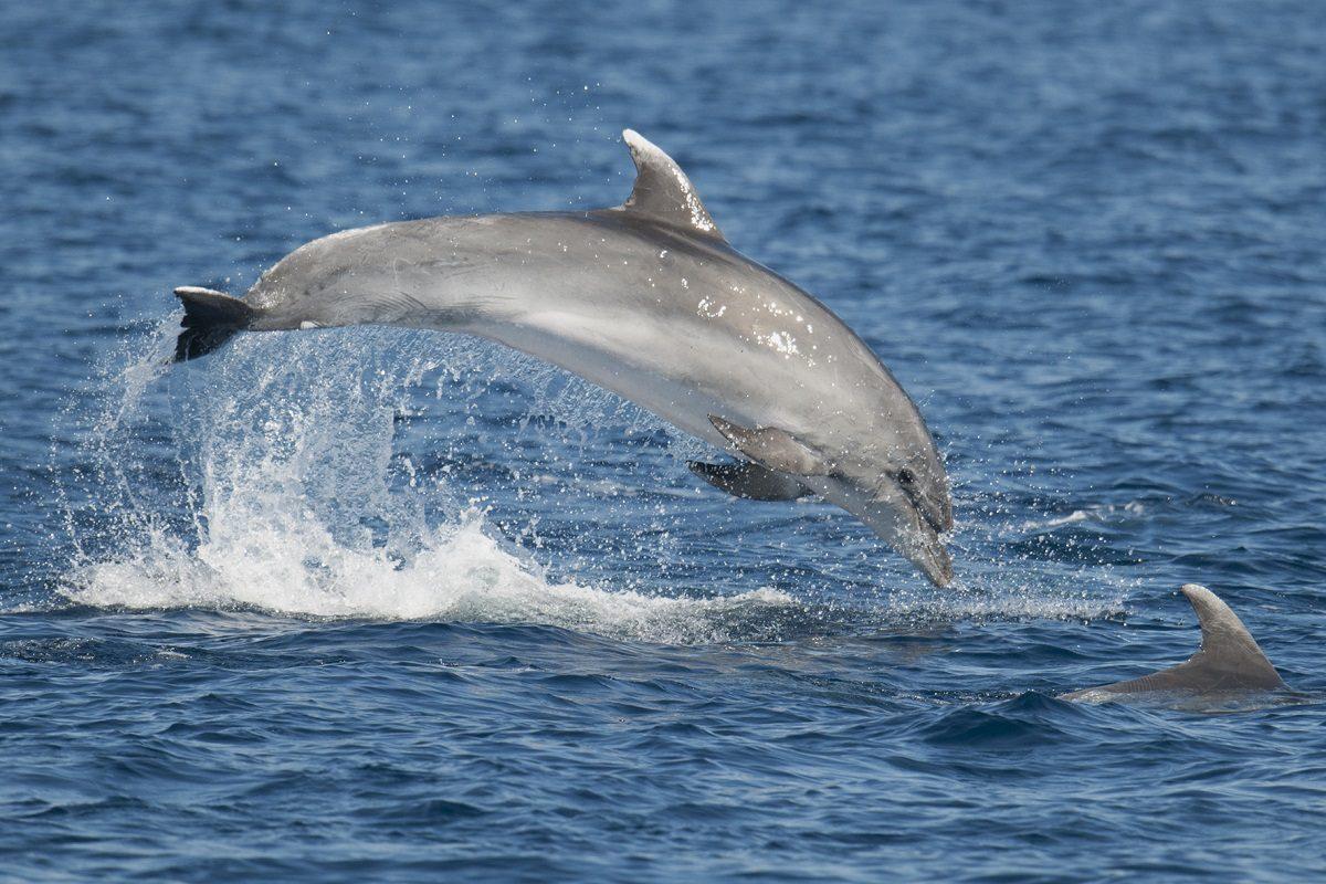 catamaran navivoile sortie a la rencontre du grand dauphin au depart de port vendres ou canet en roussillon saut de grand dauphin tursiops truncatus