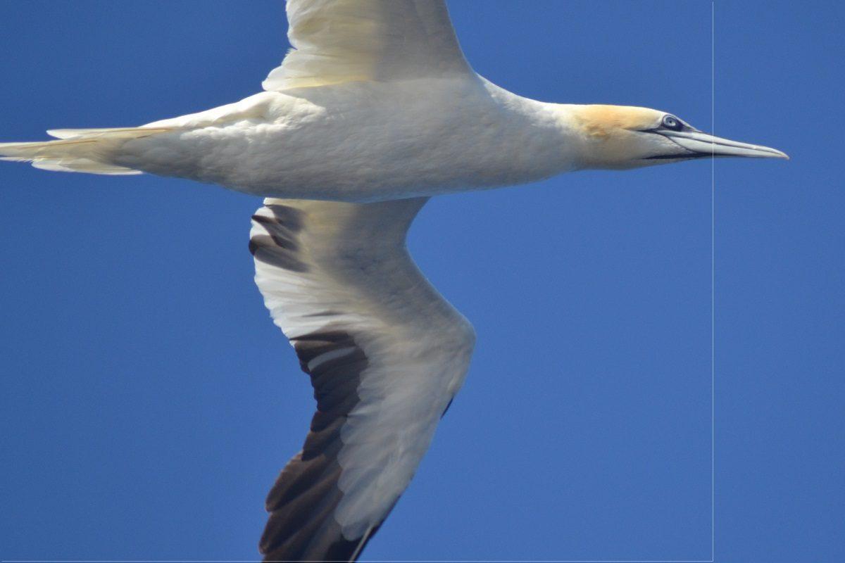 catamaran navivoile sortie oiseaux de mer au depart de canet en roussillon observation fou de bassan mature