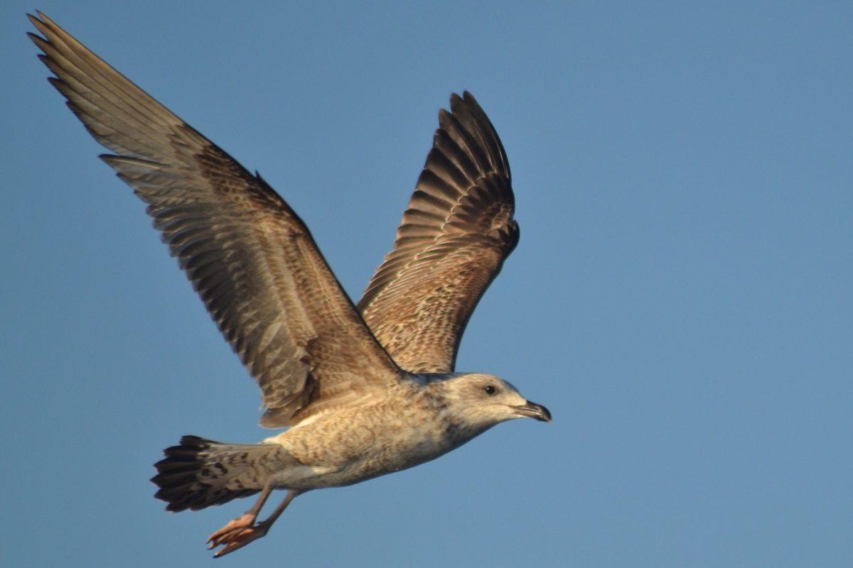 catamaran navivoile sortie oiseaux de mer au depart de canet en roussillon observation goeland leucophee immature