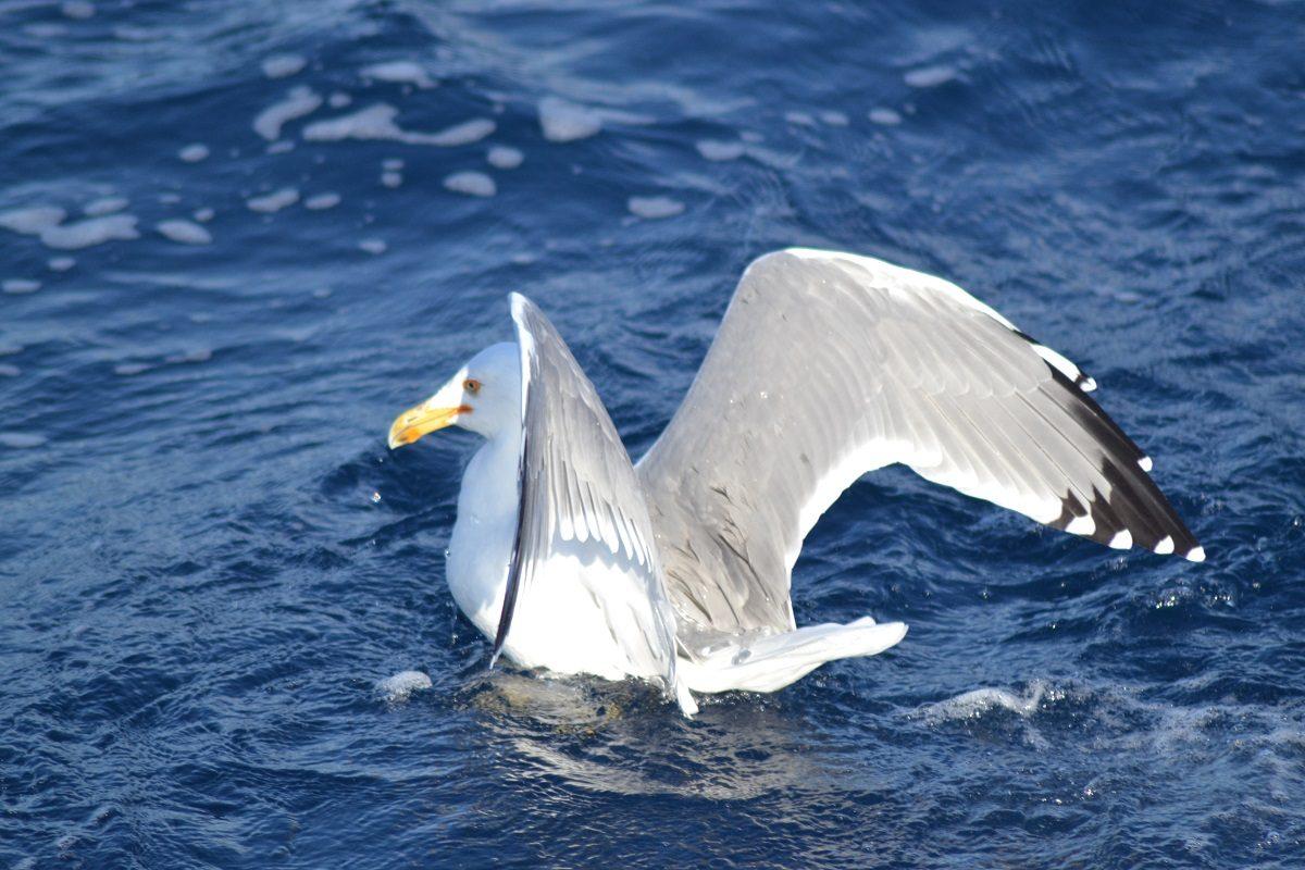 catamaran navivoile sortie oiseaux de mer au depart de canet en roussillon observation goeland leucophee mature