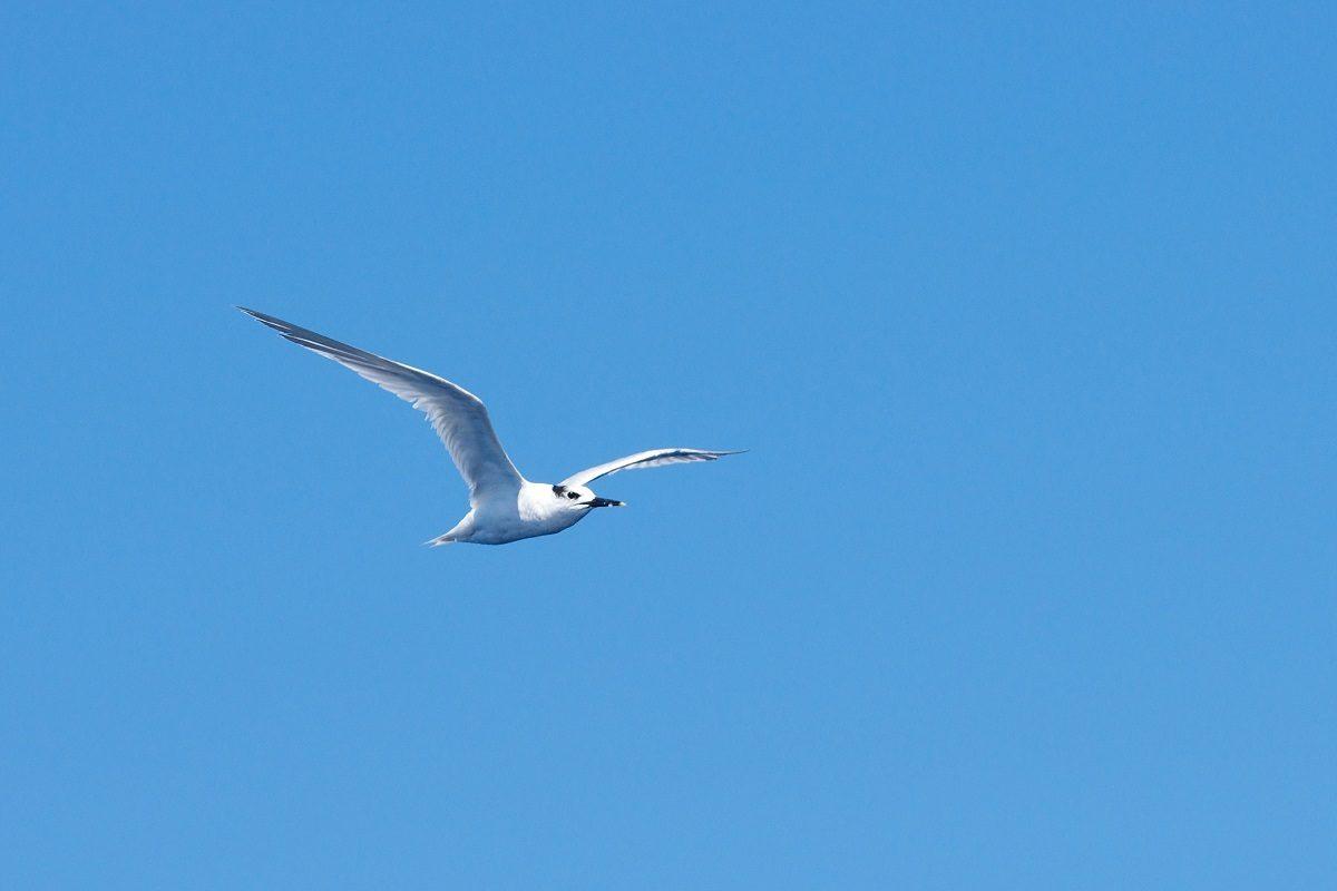 catamaran navivoile sortie oiseaux de mer au depart de canet en roussillon observation sterne caugek