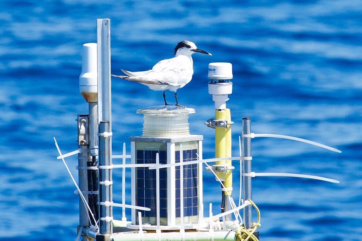 catamaran navivoile sortie oiseaux de mer au depart de canet en roussillon observation sterne caugek posee sur bouee laboratoire arago