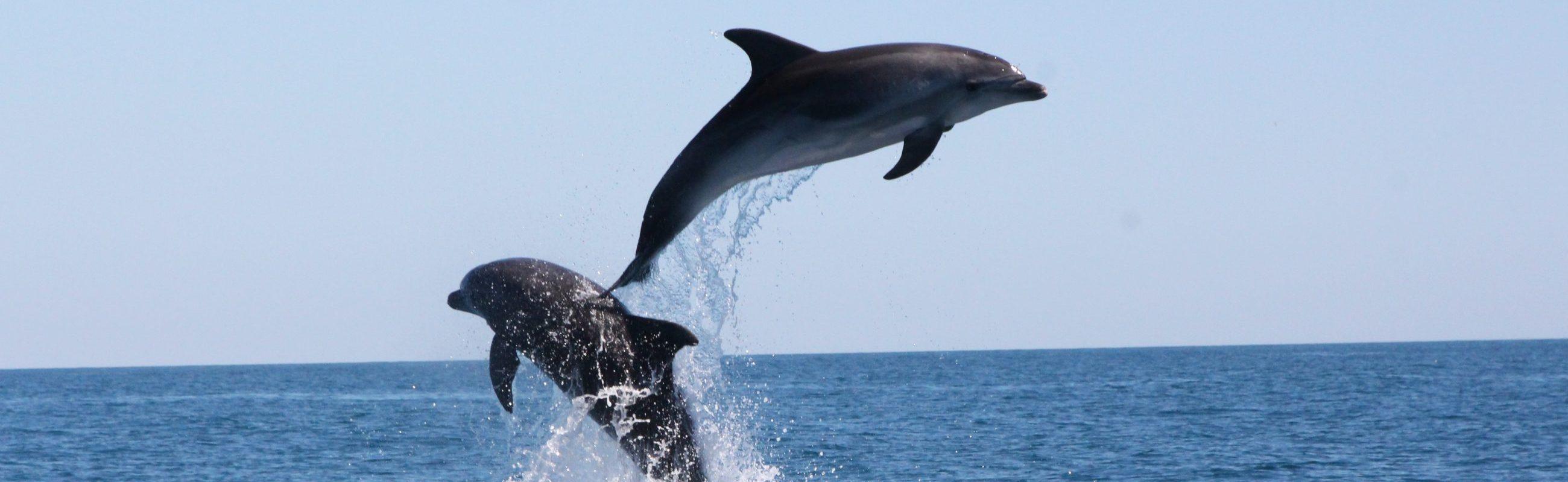 bon cadeau observation du grand dauphin à bord du catamaran navivoile au large de port vendres
