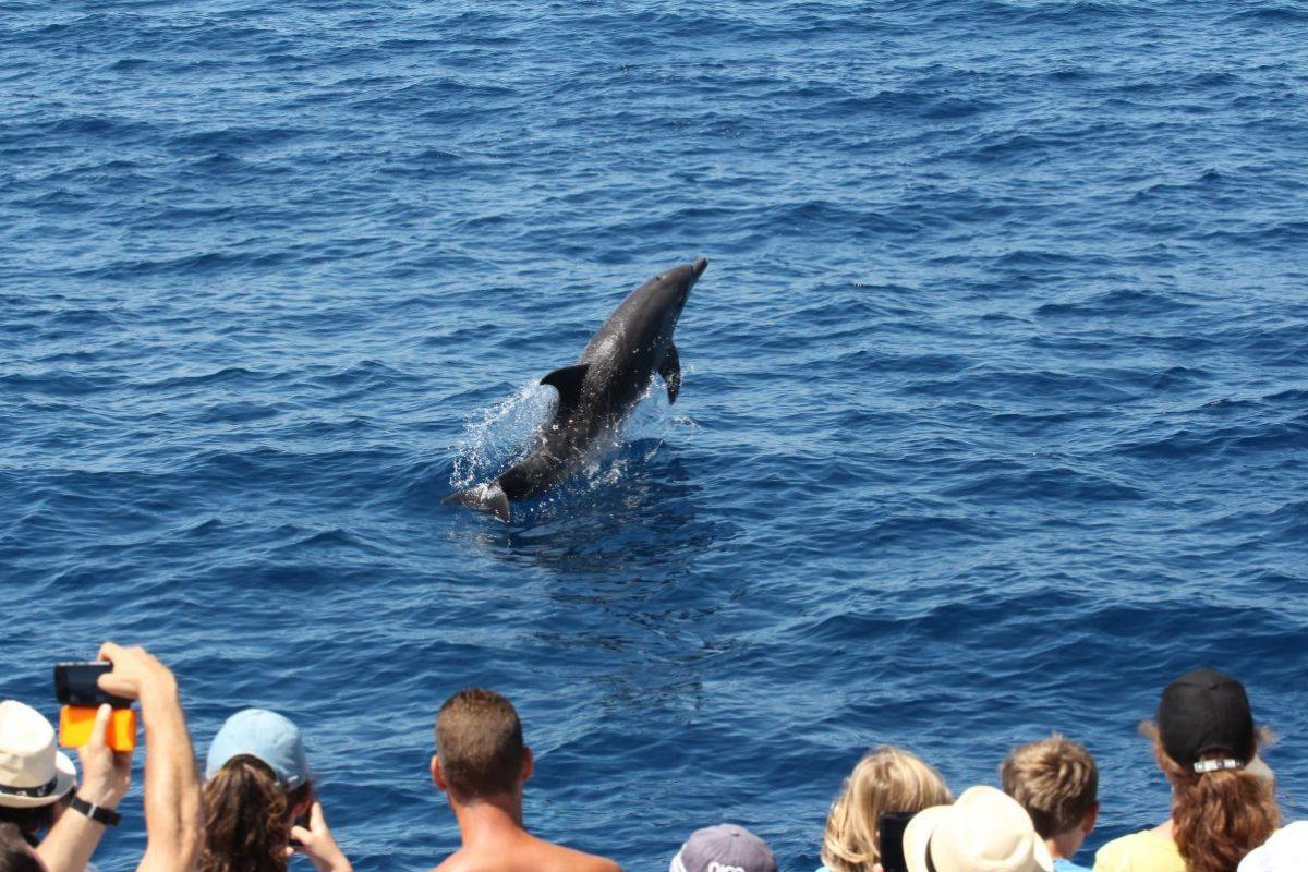 Découverte du grand dauphin étrave du catamaran navivoile large de port vendres