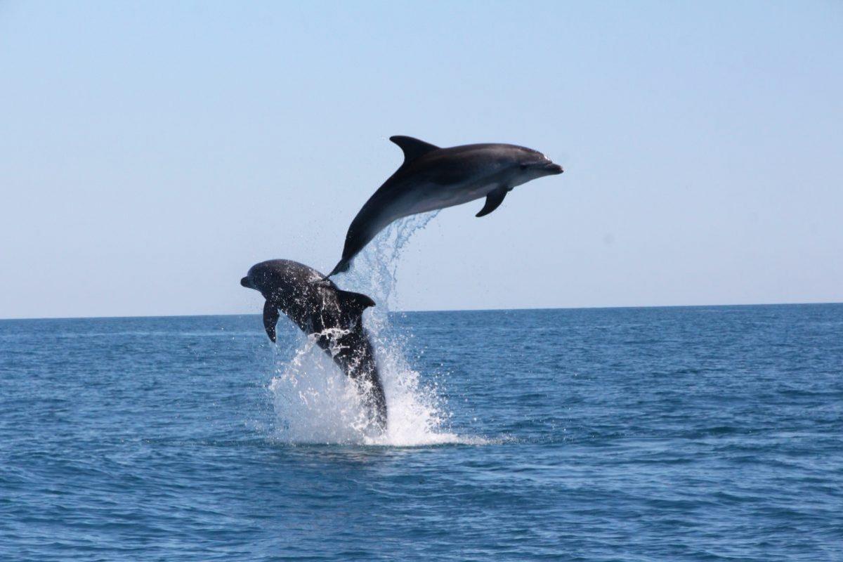 acrobaties de grands dauphins lors d'une croisière découverte baleines et dauphins à bord du catamaran navivoile au large de port vendres