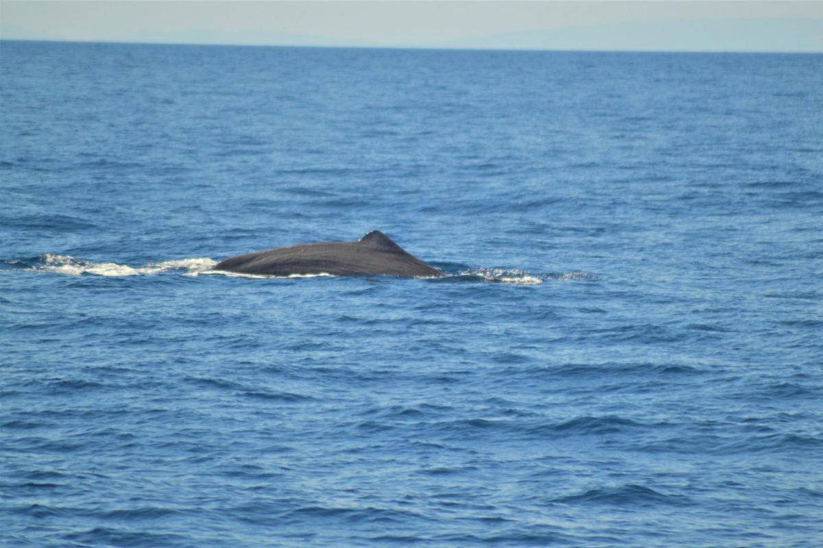 cachalot paré à sonder au large de canet en roussillon à bord du navivoile lors d'une croisière découverte baleines et dauphins