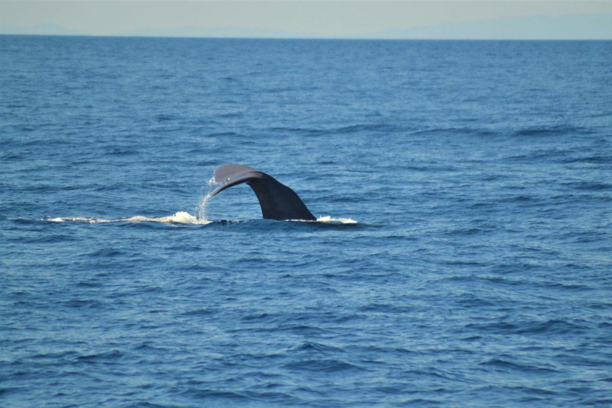 cachalot sondant croisière découverte baleines et dauphins à bord du navivoile au départ de canet en roussillon