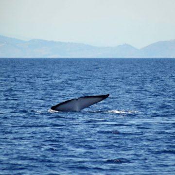 découverte baleines et dauphins large canet en roussillon et port vendres à bord du catamaran navivoile