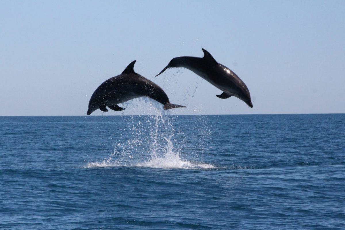 découverte des grands dauphins au départ de port vendres à bord du catamaran navivoile