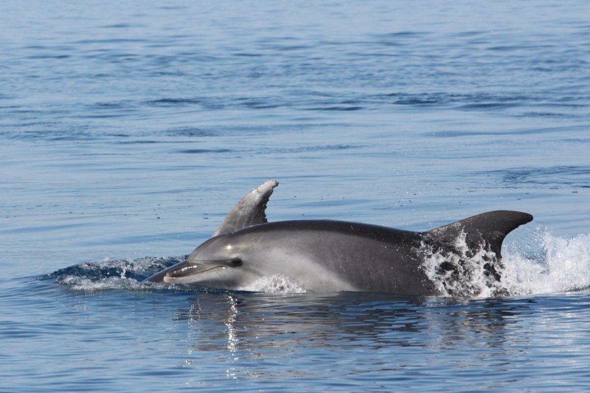 découverte du grand dauphin au départ de canet en roussillon à bord de navivoile