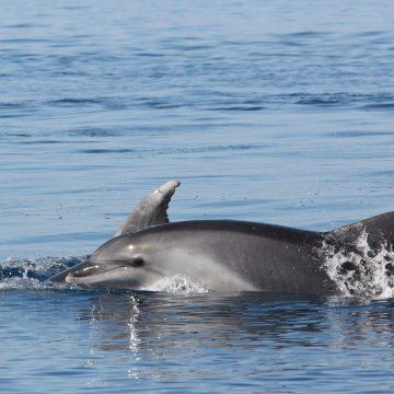 découverte du grand dauphin au départ de port vendres à bord de navivoile