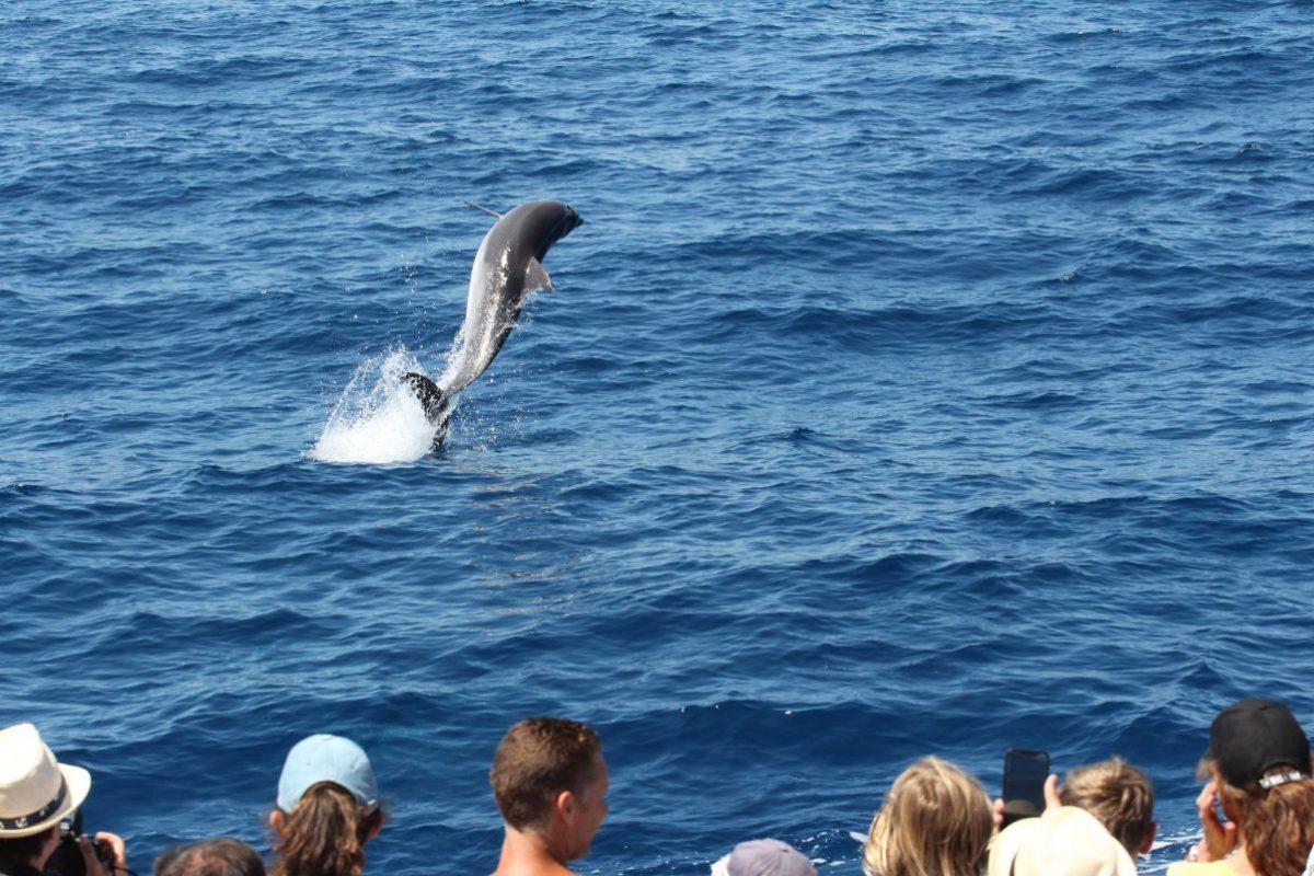 jump grand dauphin aux étraves du navivoile en croisière découverte baleines et dauphins au départ de canet en roussillon