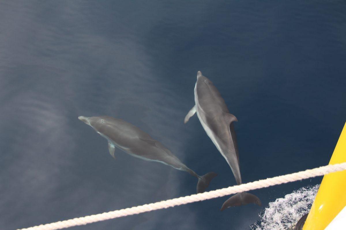 dauphins bleu et blanc à l'étrave du catamaran navivoile en cours de croisière découverte baleines et dauphins en méditerranée au large de canet en roussillon