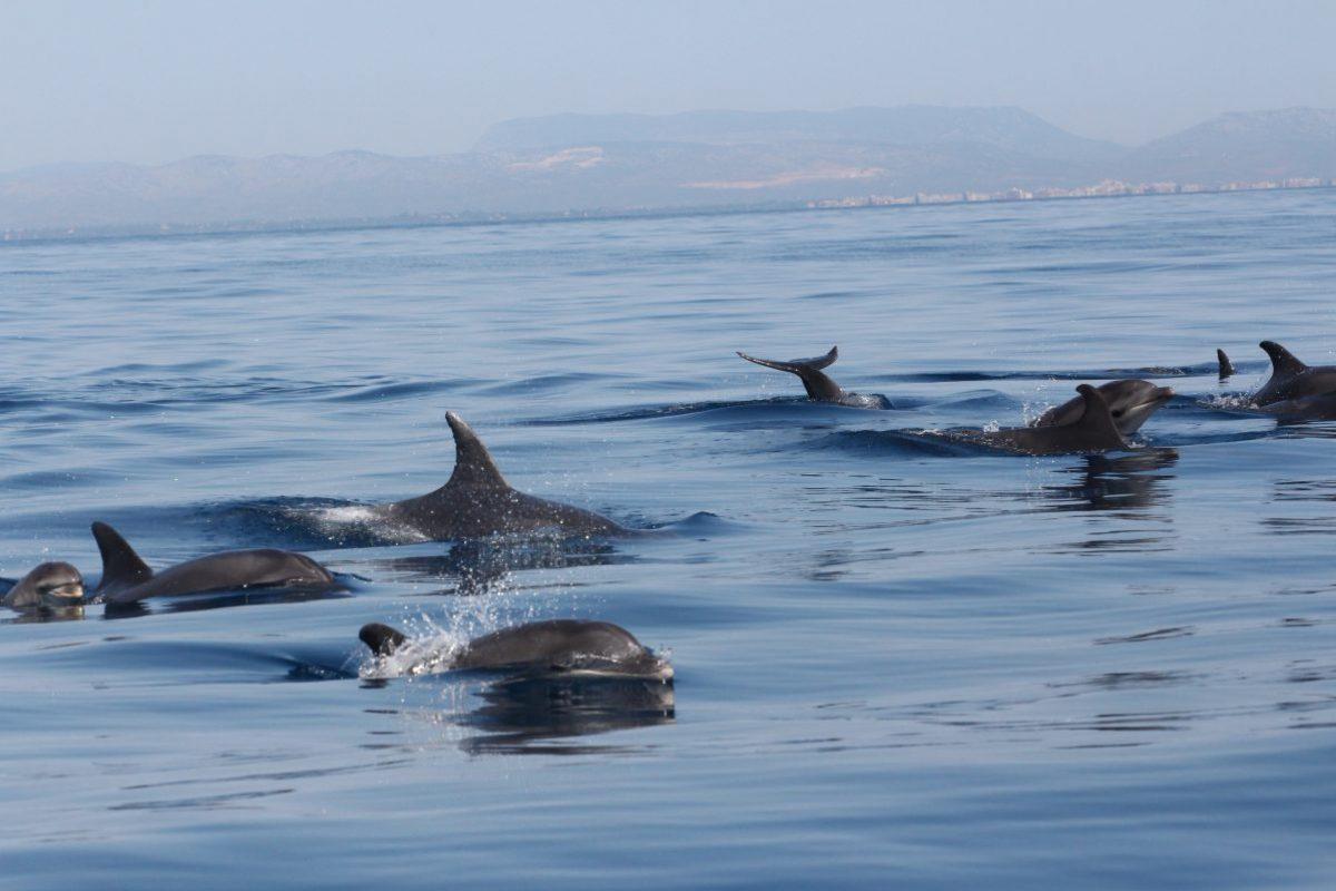 grands dauphins eu large de canet en roussillon observé lors d'une croisière découverte baleines et dauphins à bord du catamaran navivoile