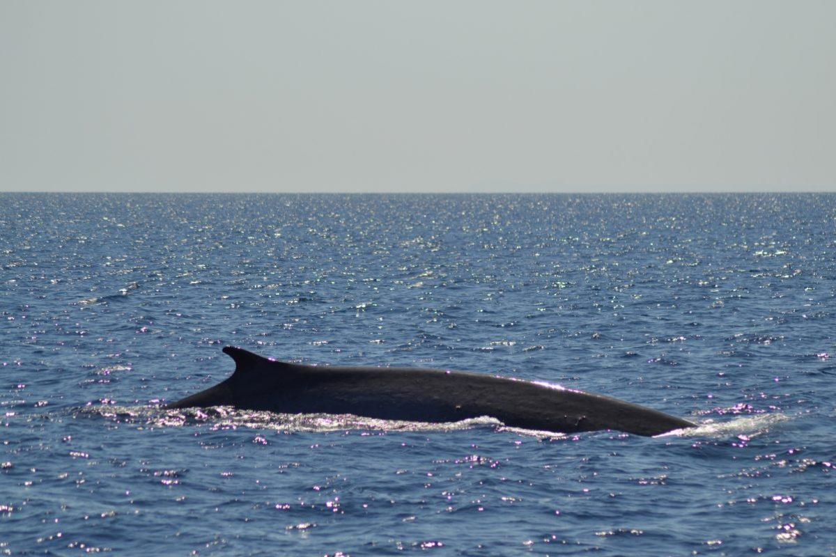 rorqual commun observé au cours d'une croisière découverte baleines et dauphins au large de canet en roussillon à bord du navivoile