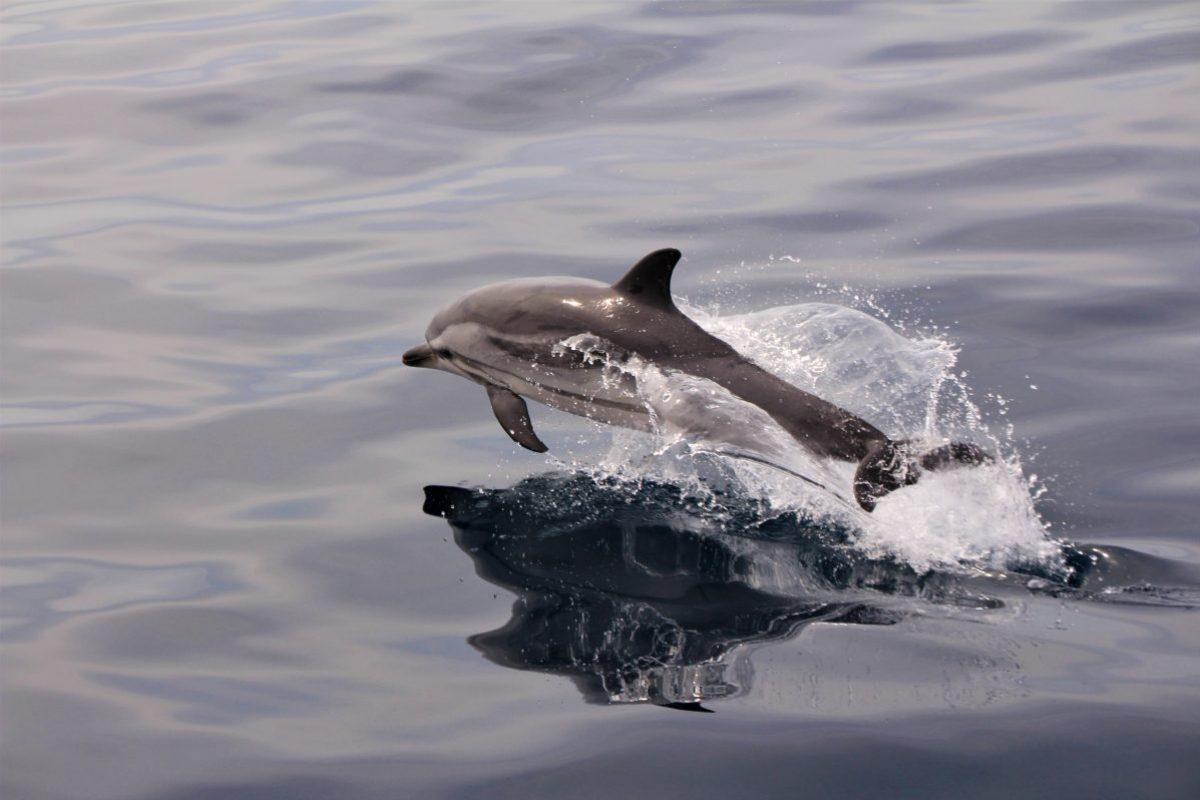vol plané dauphin bleu et blanc au cours d'une croisière découverte baleines et dauphins à bord du navivoile canet en roussillon